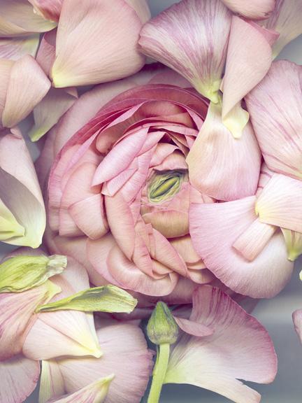 Campanule rose